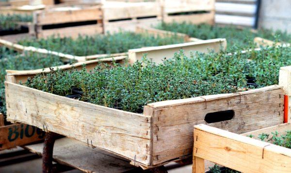 Herbes aromatiques bio
