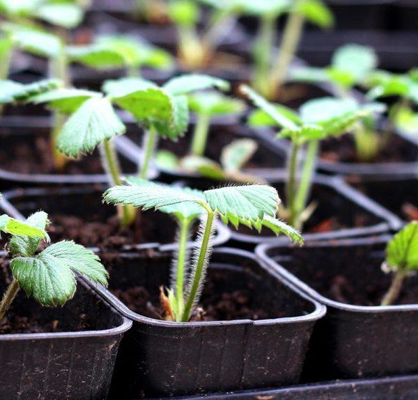 Plants maraîchers et aromatiques