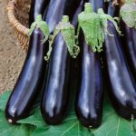 plan bio bretagne 22 dinan evran aubergine barbentane