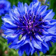 plan bio bretagne 22 dinan evran fleur bleuet bleu