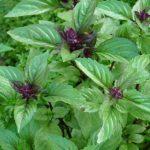 plan bio bretagne 22 dinan evran aromatique basilic cannelle