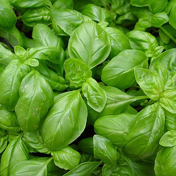 plan bio bretagne 22 dinan evran aromatique basilic grand vert