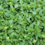 plan bio bretagne 22 dinan evran aromatique basilic marseillais