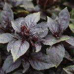 plan bio bretagne 22 dinan evran aromatique basilic rouge osmin