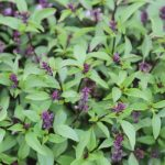 plan bio bretagne 22 dinan evran aromatique basilic thaï