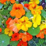 plan bio bretagne 22 dinan evran fleur capucine
