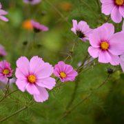 plan bio bretagne 22 dinan evran fleur cosmos