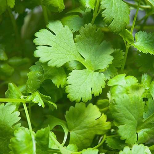 plant bio coriandre