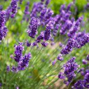 plan bio bretagne 22 dinan evran aromatique lavande