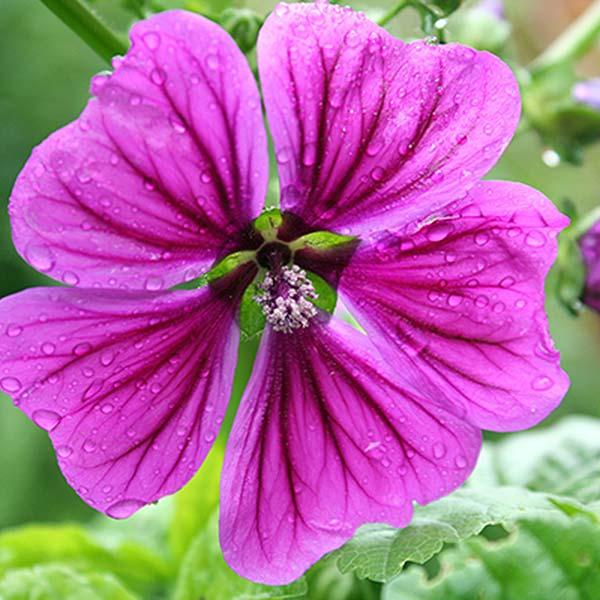 plan bio bretagne 22 dinan evran fleur mauve