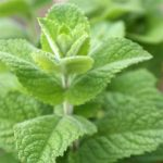 plan bio bretagne 22 dinan evran aromatique menthe pommee