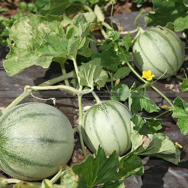 plan bio bretagne 22 dinan evran melon charentais