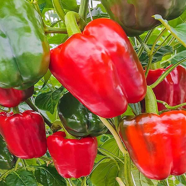 plan bio bretagne 22 dinan evran poivron rouge vert california wonder