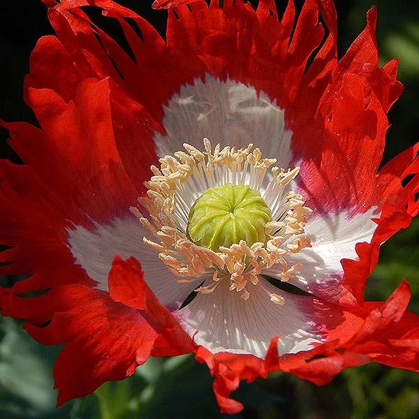 plan bio bretagne 22 dinan evran fleur pavot danish