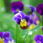plan bio bretagne 22 dinan evran fleur pensee sauvage