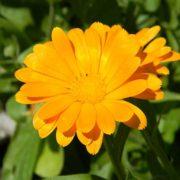 plan bio bretagne 22 dinan evran fleur soucis