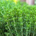 Plant bio sarriette
