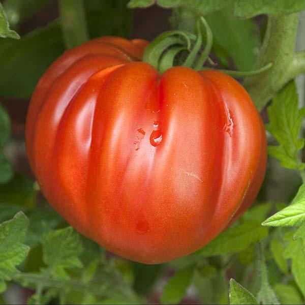 plan bio bretagne 22 dinan evran tomate coeur de boeuf