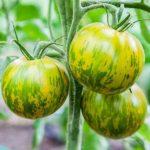 plan bio bretagne 22 dinan evran tomate green zebra