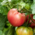 plan bio bretagne 22 dinan evran tomate rose de berne