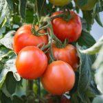 plan bio bretagne 22 dinan evran tomate saint pierrre