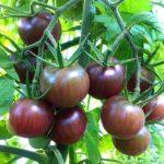 plan bio bretagne 22 dinan evran tomate cerise black cherry