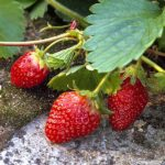 plan bio bretagne 22 dinan evran fraisier cirafine