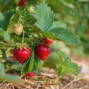 plan bio bretagne 22 dinan evran fraisier charlotte