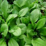 plant bio oseille