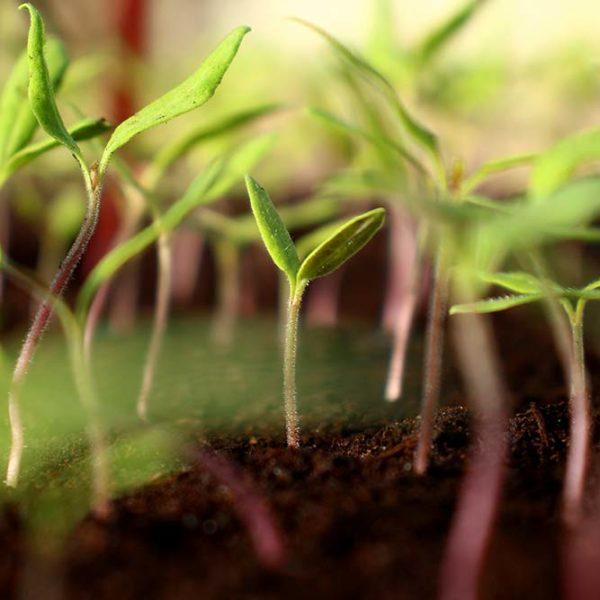 plants maraîchers aromatiques bio bretagne dinan evran commande en ligne