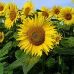 plant bio tournesol