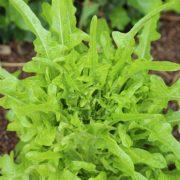 plants laitue salade bio