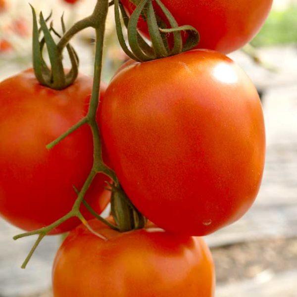 plan bio bretagne 22 dinan evran tomate rio grande