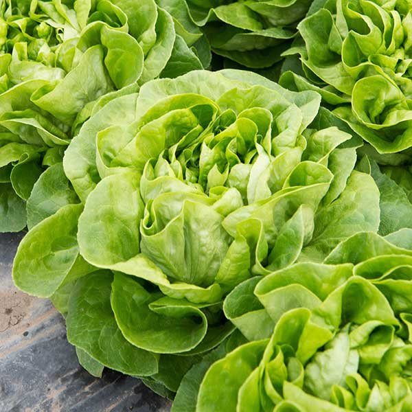 plant laitue salade pommee verte bio