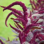 plant bio amarante red army evran