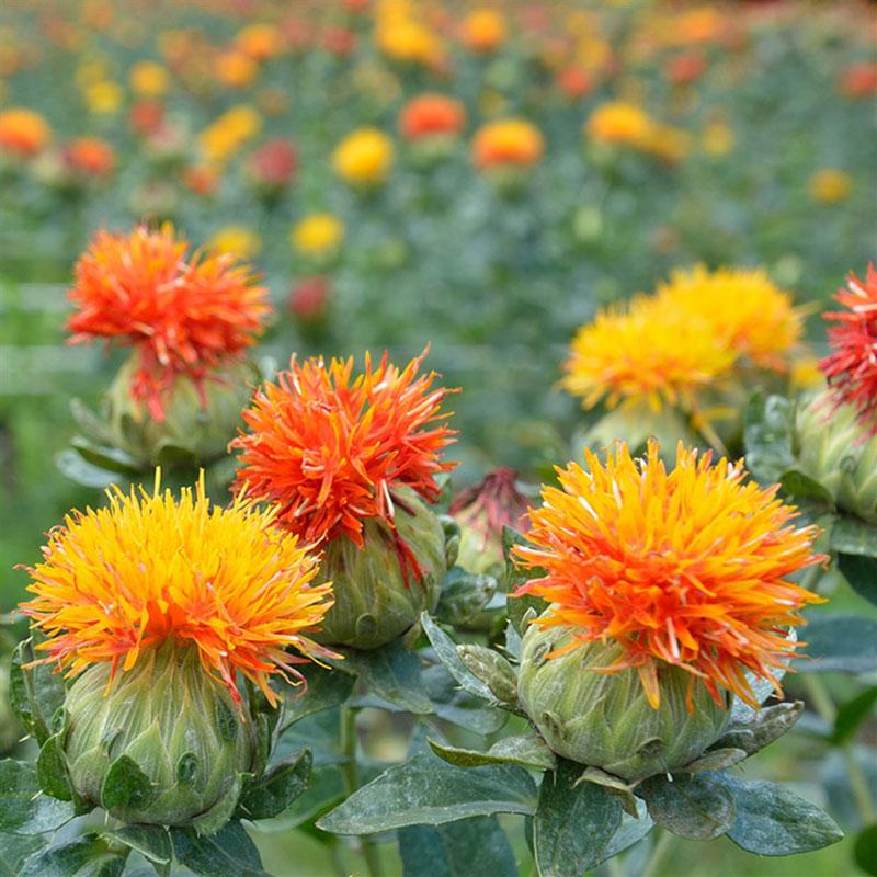 Plant bio carthame ou safran des teinturiers