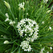 Plant bio ciboule de chine bretagne