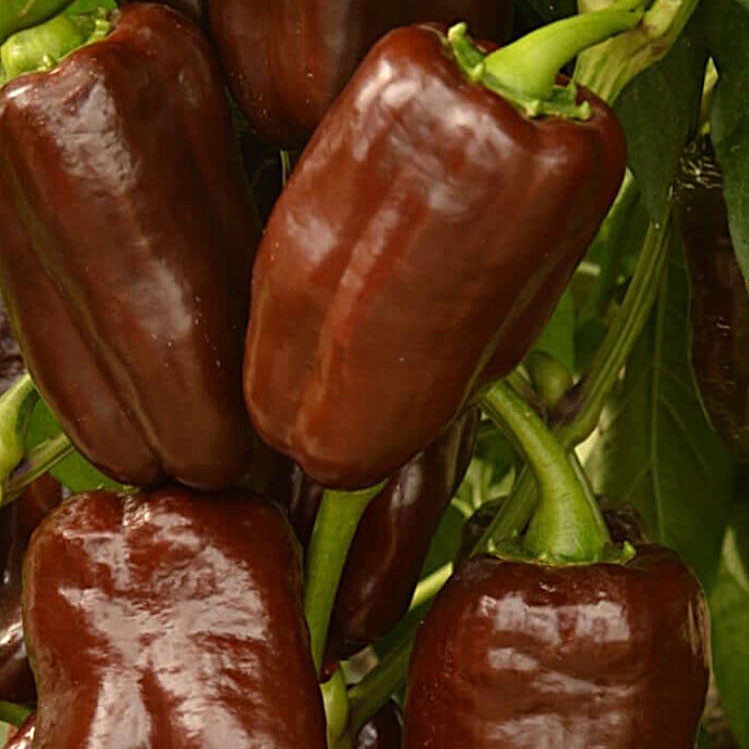 plant bio poivron chocolat