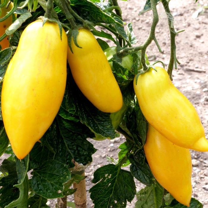 plant tomate banana bretagne evran dinan