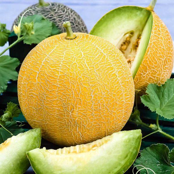 Plant bio melon galia