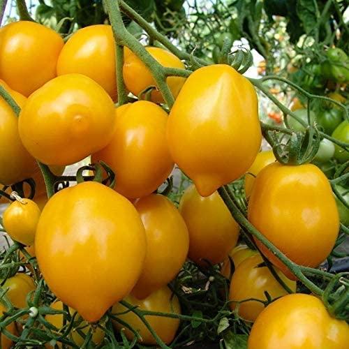 plant tomate lemon bio